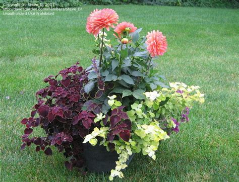 specialty gardening growing dahlias in a container 1 by steve d