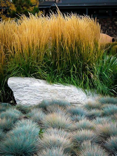 elijah blue fescue grass  sale   tree center