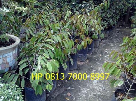 bibit sawit karet  aren jual bibit durian unggul