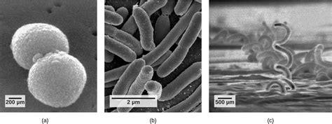 structure  prokaryotes bacteria  archaea openstax