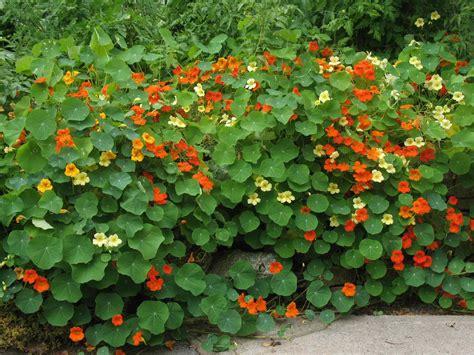 Garden Nasturtium by Vining Nasturtium Mercenary Gardens