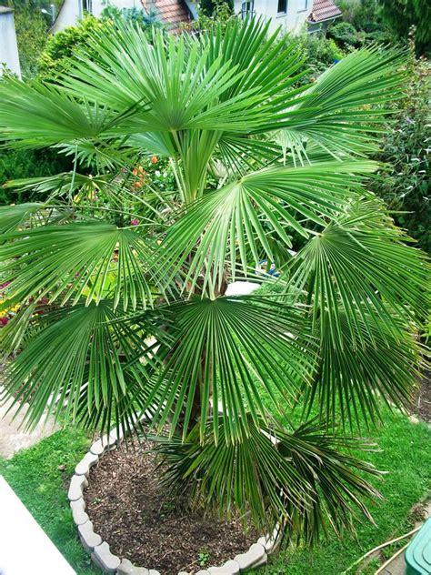 winterharte palmen bis 25 grad italia spezial winterharte palmen ja wir haben sie auch - Winterharte Palmen Bis 25 Grad