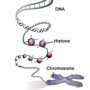 Structure Of Chromosome At Molecular Level