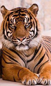tiger_big_cat_carnivore_lie_stone_56730_640x1136   Tiger ...