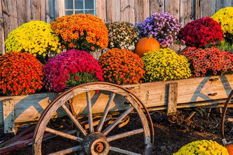 Mums (89135198_l) - Casey's Outdoor Solutions Garden & Gifts