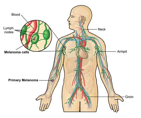 lymph nodes  body locations functions shape