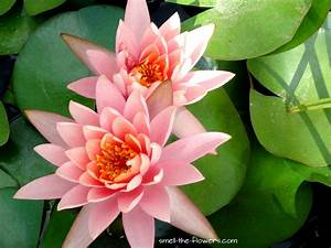 Water Lily The Miraculous Flower