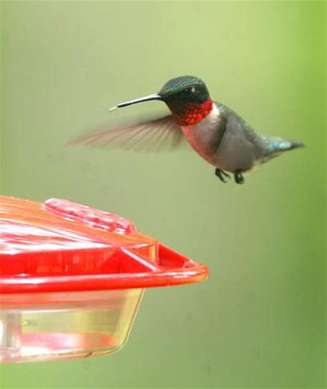 hummingbirds make their return prairie state outdoors
