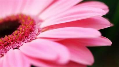 Pink Daisy Desktop Wallpapers Wallpapersafari