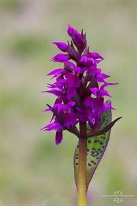 Bees  Races And Wild Orchids  Springtime In Kodiak  Alaska