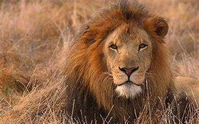 Lion African Wallpapers Desktop Backgrounds Keywords