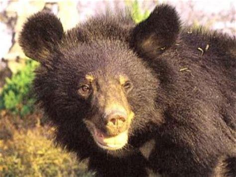 asiatic black bears bears   world