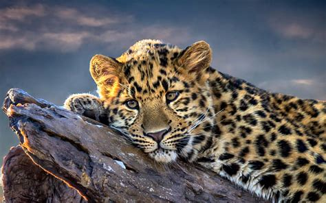 Leopard Animal Wallpaper - leopard hd wallpaper and background image 1920x1200