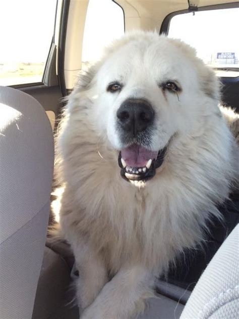 Great Pyrenees Shedding Help by 1000 Images About Great Pyrenees On Pyrenees