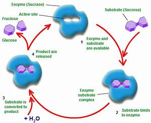 Biotechnology: Mechanism of Enzyme Action