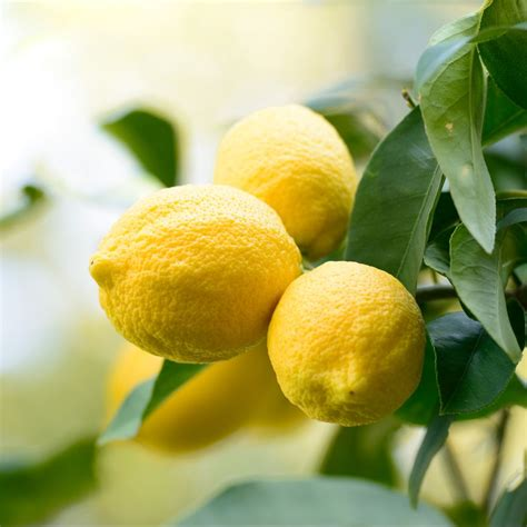 quand planter un citronnier en pot quand planter 1 citronnier