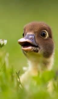 Adorable Baby Duck