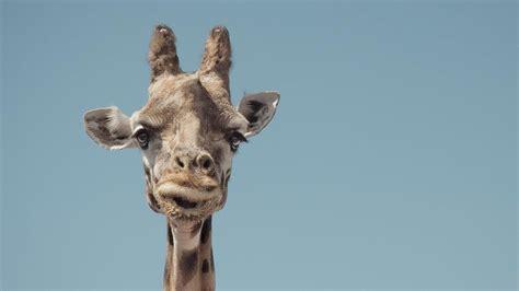 pygmy giraffe referencecom