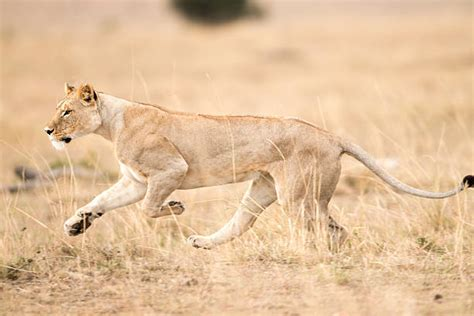 Top Lion Running Stock Photos, Pictures And Images