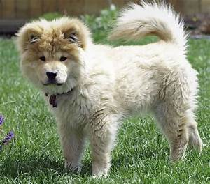 Oliver the Chow Mix | Puppies | Daily Puppy
