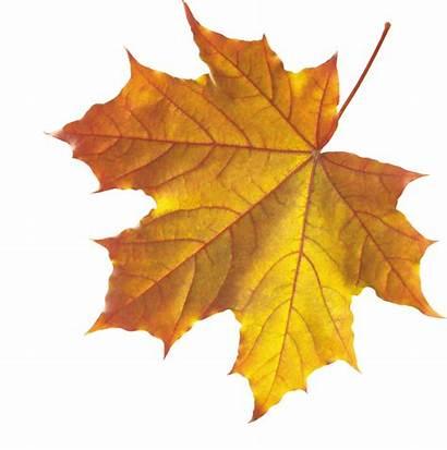 Leaf Autumn Freepngimg