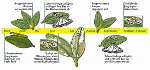 Raupen Buchsbaumzünsler Bekämpfung : der saengerhof pflanzenschutz im mai ~ Watch28wear.com Haus und Dekorationen