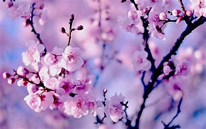 Sakura Wallpapers Backgrounds