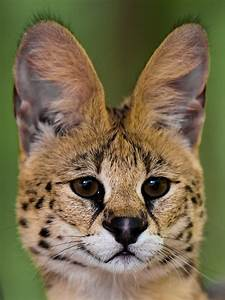 Serval | The Serval is a medium-sized African wild cat. It ...