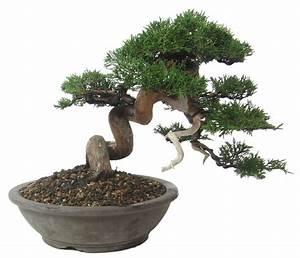 Chinesischer Wacholder Bonsai : shop bonsai nadelb ume n063 chin wacholder itoigawa ca 24 j 26 cm ~ Sanjose-hotels-ca.com Haus und Dekorationen