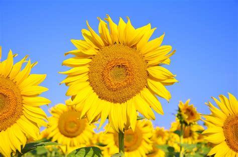 manfaat khasiat bunga matahari kuning