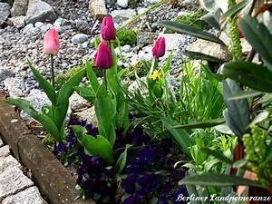 Tulpen Im Garten : berliner landpomeranze ein berlin gartenblog tulpen ~ A.2002-acura-tl-radio.info Haus und Dekorationen