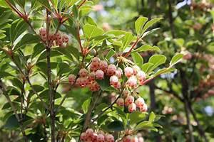 Sträucher Für Garten : besondere laubgeh lze f r den garten native plants ~ Buech-reservation.com Haus und Dekorationen