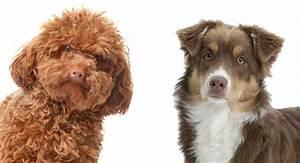 Toy Poodle Pancreatitis