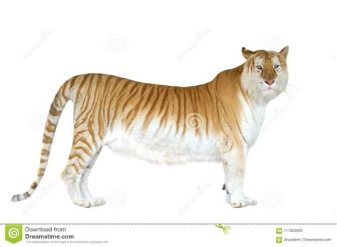 Golden Tabby Tiger Strawberry Stock Photo Image
