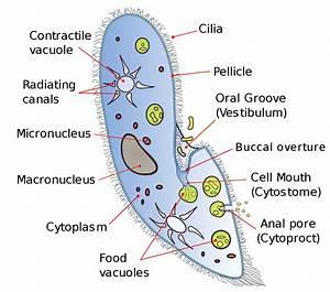 File Paramecium Diagram Svg