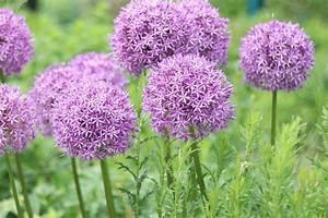 Allium Pflanzen Im Frühjahr : zierlauch allium sch ne sorten pflanzen und pflege des bl ten lauchs ~ Yasmunasinghe.com Haus und Dekorationen