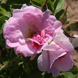 Rosen Düngen Im Frühjahr : liga rosen online kaufen im rosenhof schultheis rosen online kaufen im rosenhof schultheis ~ Orissabook.com Haus und Dekorationen