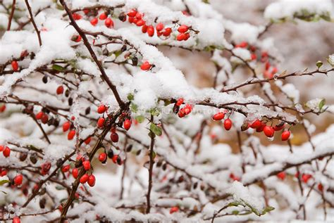 trees with berries in winter barberries plant in winter snow ice plant flower stock photography gardenphotos com