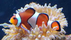 Clownfish And Bubble Tip Anemone A Symbiotic