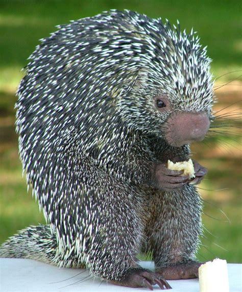 brazilian porcupine japari library  kemono friends wiki