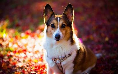 Corgi Puppy Wallpapers Dog Background Wallpapertag