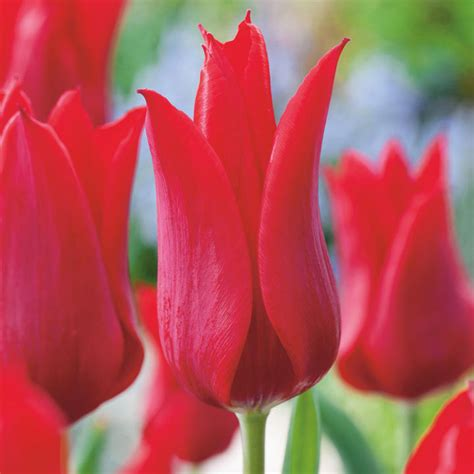 tulip bulbs red collection dobies