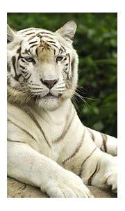 White Tiger Forest Animal Hd Image | imagefully.com ...