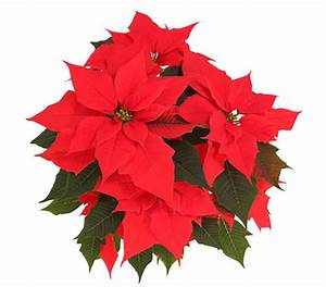 Weihnachtsstern Pflanze Kaufen : weihnachtsstern 39 electric fire 39 dehner garten center ~ Michelbontemps.com Haus und Dekorationen
