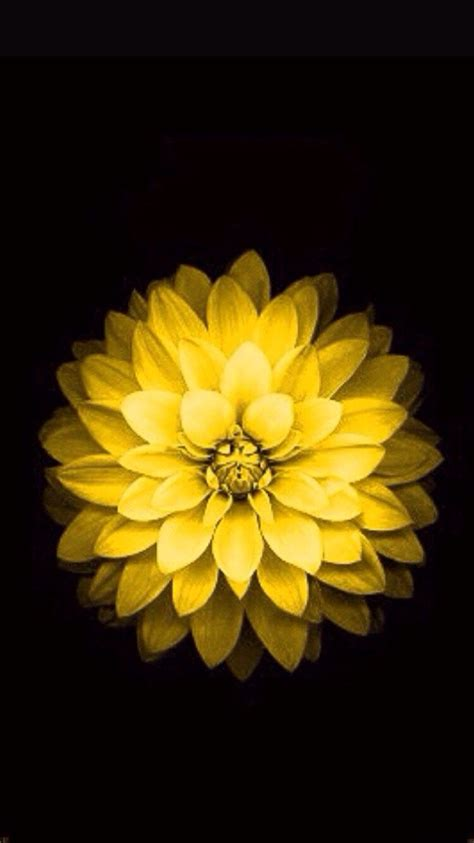 Flower Iphone Black Background Wallpaper by Crysanthemum For Mothers Day Avatar Wallpaper Ios