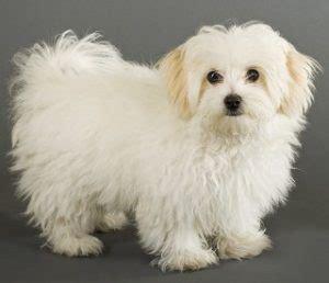list   hypoallergenic dog breeds  pictures