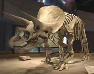 Image Gallery triceratops bones