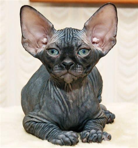 Hairless Cat Breeds