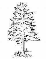 Pine Coloring Tree Trees Forest Template Pdf Templates Preschool Printable Getcolorings Version Sketch sketch template