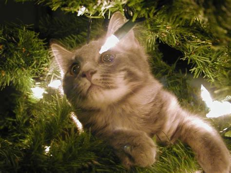 cat first seen christmas tree cats in trees 42 pics